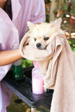 Bath time for white pomeranian shower Stock Photo