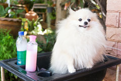 Bath time for white pomeranian shower Royalty Free Stock Photography