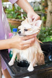 Bath time for white pomeranian shower Stock Images