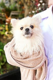 Bath time for white pomeranian shower Royalty Free Stock Photos