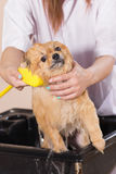 Bath time with white pomeranian shower grooming Stock Photos