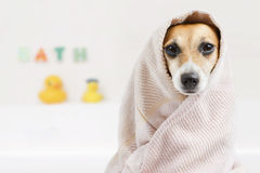 Bath washed dog Royalty Free Stock Images