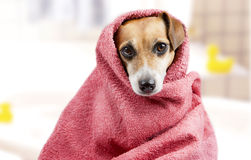 Bath washed dog stock images