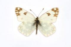 Bath White. Latin name Pontia daplidice isolated on white Royalty Free Stock Image