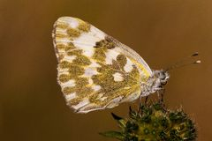 Bath White butterfly Royalty Free Stock Photography