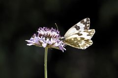 Bath White butterfly from Europe Stock Photo
