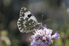 Bath White butterfly from Europe Royalty Free Stock Images