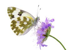 Bath white butterfly (Pontia daplidice) Royalty Free Stock Photos