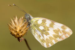 Bath white butterfly / Pontia daplidice Stock Images