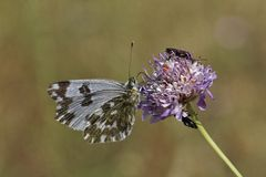 Bath White butterfly from Western Europe Royalty Free Stock Photography