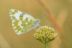 The bath white Pontia daplidice in Czech Republic royalty free stock photography