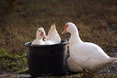 Bathe the duck Cairina moschata Stock Photography