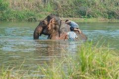 Bathe elephant. Two man to bathe body elephant Stock Image
