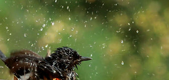 Bathe scene. White-rumped shama, bird endemic to Western Ghats - (ecologically sensitive area and World Heritage site)..Seen here enjoying the bathe and cool Royalty Free Stock Photography