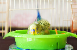 Bathed budgerigar parrot Royalty Free Stock Image