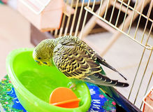 Bathed budgerigar parrot Royalty Free Stock Photography