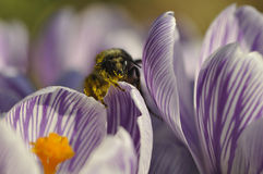 Bathed in Pollen. A bee coated in pollen sitting on a flower Stock Photos