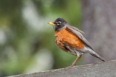 Bathed Robin Stock Photos