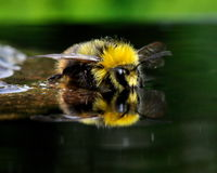 The bather bumblebee (Bombus pratorum) 5 Royalty Free Stock Image