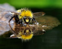 The bather bumblebee (Bombus pratorum) 9 Stock Image