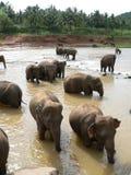 Bathing. Elephant group bathing Royalty Free Stock Photography
