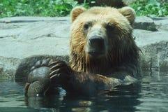 Bathing Alaskan Brown Brown Royalty Free Stock Photo