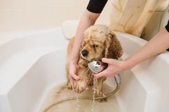 Bathing of American cocker spaniel. Bathing of American cocker spaniel is taking a shower at home royalty free stock photography