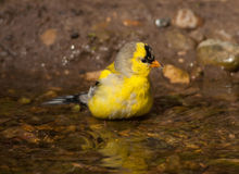 Bathing American Goldfinch Stock Image