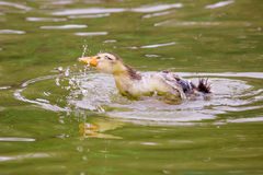 Bathing Baby duck. In water royalty free stock photos