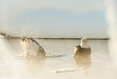 Bathing Bald eagles Royalty Free Stock Photography