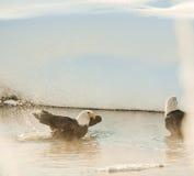 Bathing Bald eagles Stock Photography