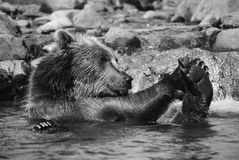 Bathing bear Royalty Free Stock Photos