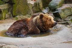 Bathing a big brown bear. Bathing a big brown bear in a puddle at the zoo Stock Photo