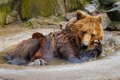 Bathing a big brown bear. Bathing a big brown bear in a puddle at the zoo Stock Photos