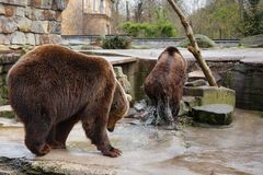 Bathing a big brown bears. Bathing a big brown bears in a puddle at the zoo Stock Photo
