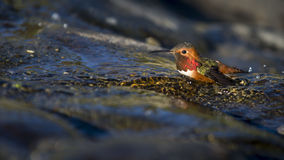 Bathing Bird. Hummingbird bathing in a shallow stream running over moss covered rocks in the Presidio of San Francisco royalty free stock images