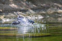Bathing Black-crowned night heron. Black-crowned night heron bathing in water Royalty Free Stock Photography