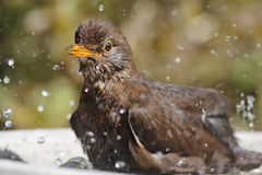 Bathing Blackbird Stock Photography