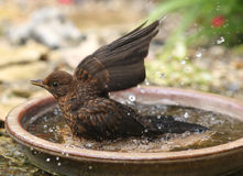 Bathing Blackbird Royalty Free Stock Photos