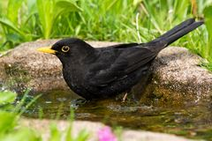 Bathing blackbird Stock Image
