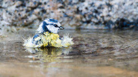 Bathing Blue Tit Royalty Free Stock Images