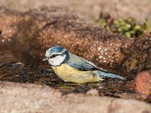 Bathing blue tit Royalty Free Stock Image