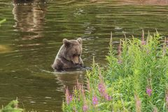 Bathing brown bear looking into the water royalty free stock images