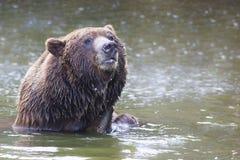 Bathing brown bear Royalty Free Stock Image
