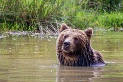 Bathing brown bear Royalty Free Stock Photo