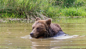 Bathing brown bear. Portrait of a Brown bear taking a bath Royalty Free Stock Photography