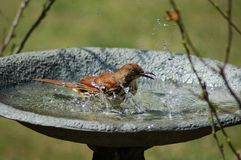 Bathing Brown Thrasher Stock Photography