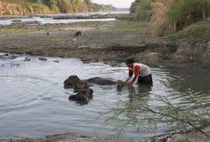 Bathing buffalo Royalty Free Stock Images