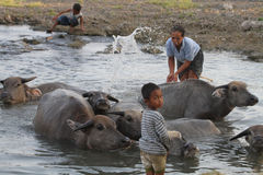 Bathing buffalo Royalty Free Stock Photography