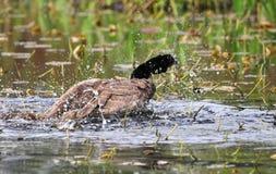 Bathing Canada Goose Stock Image